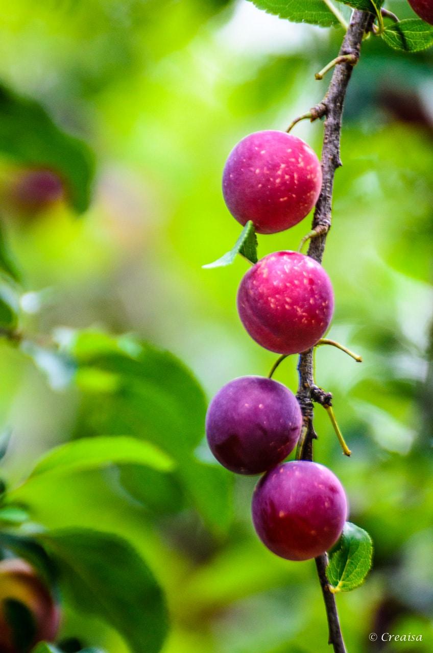 La Cariçaie fruitée